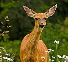 COLUMBIAN BLACKTAIL DOE by Sandy Stewart