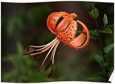 Tiger Lily by Sandy Keeton