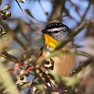 Tucked Away ... Spotted Pardalote by Kerryn Ryan, Mosaic Avenues