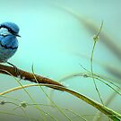 Splendid Fairy-Wren &amp; Reeds by Christopher Pope