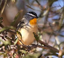 Spotted Pardalote by mosaicavenues