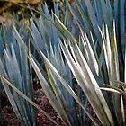 agave by richard  webb