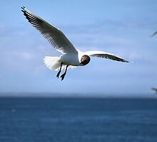 Black Headed Gull by Lindamell
