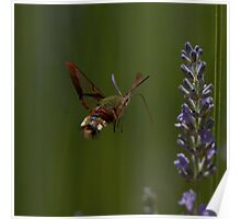 Broad-bordered Bee Hawkmoth Poster