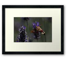 Broad-bordered Bee Hawkmoth 2 Framed Print