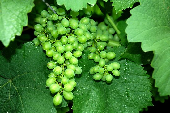 Green grapes by Arie Koene