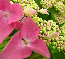 Hydrangea fun by MarianBendeth