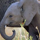 Baby Elephant, South Luangwa by JenniferEllen