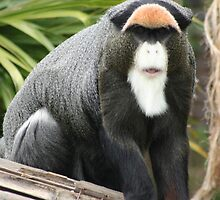 De Brazza Monkey by v-something