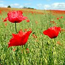 Corn Poppies by vivsworld