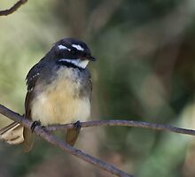 Grey Fantail by TGrowden