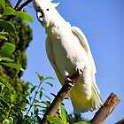 One very noisy Cockatoo... by Wenz