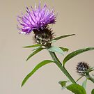 Cornflower by DonDavisUK