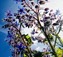Borage blue by THHoang