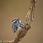 Black & White Warbler by Daniel  Parent