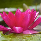 View From a Lily Pad by John Butler