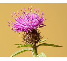 The Charm of the Cornflower Photographic Print