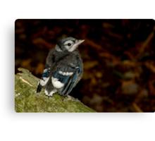 A Cute Little Baby Blue Jay Canvas Print