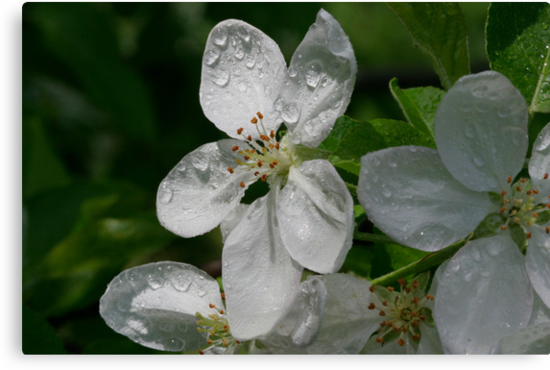 Apple Blossoms, Straight From The Camera on May 2, 2009 by Gene Walls