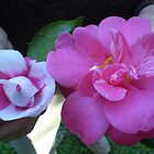 Perfect Pink & White Camellias by pinetrees