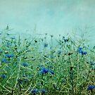 cornflowers by Iris Lehnhardt
