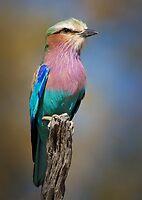 Lilac Breasted Roller (Coracias caudatus), Botswana by Neville Jones