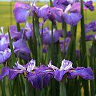 Japaneese Iris  by Geno Rugh