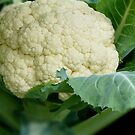 beautiful head of cauliflower by tego53