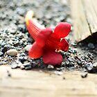 Little Red by arberinger
