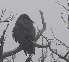 Snowstorm Raven by DWMMPhotography