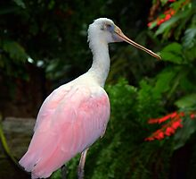 Roseate Spoonbill by Chuck Chisler