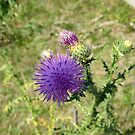 Thistle by Cathy Cale