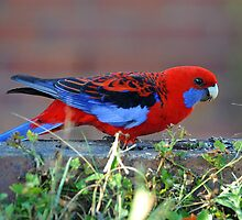Crimson Rosella in our back yard. Brisbane, Queensland, Australia. (2) by Ralph de Zilva