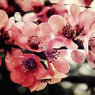 Japanese Quince - Single Branch by Sybille Sterk