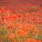 Poppy field by herbpayne