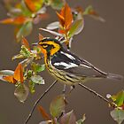 Blackburnian Warbler by Daniel  Parent