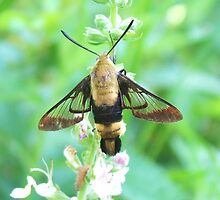 Hummingbird moth by SusieG
