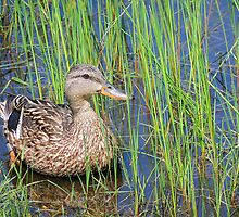 Duck in Pond by lilylens