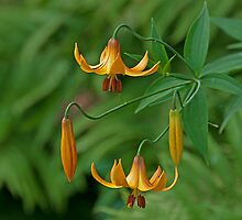 Canada Lily - Take 2! by Mike Oxley