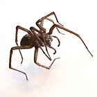 House Spider by Jon Laysell