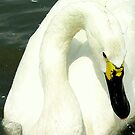 Whooper swan by Meladana
