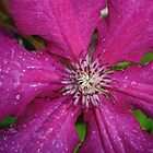 Clematis Hot Pink by charmedy