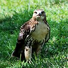 Red Tailed Hawk 2 by barnsis