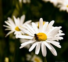 Hang'in Out - Daisy  by Melissa Seaback