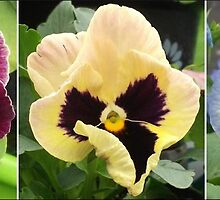 Pansy Montage by Melissa Stevenson
