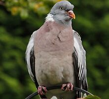 Wood Pigeon by AnnDixon