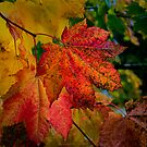 Fall Vine Maples by Charles &amp; Patricia   Harkins ~ Picture Oregon