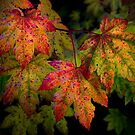 Vine Maples In Change by Charles &amp; Patricia   Harkins ~ Picture Oregon