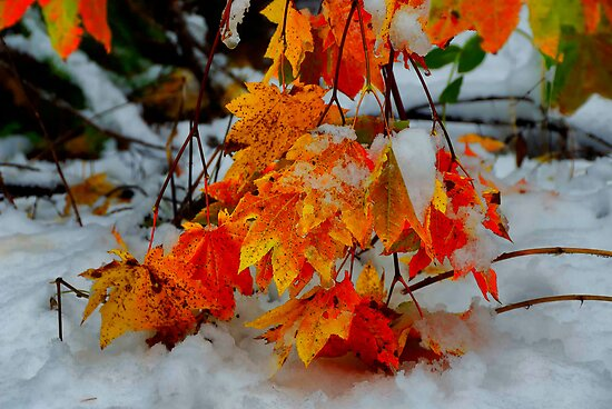 Vine Maples In The Snow by Charles & Patricia   Harkins ~ Picture Oregon