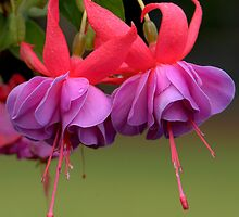 Grosvenor Park , Chester,  Fuchsia. by PhillipJones